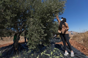 A Palestinian woman harvesting olives at the outskirts of the West Bank village of Mughayer, north of Ramallah, October 13, 2020.