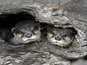 Two Asian small-clawed otters at the Taipei Zoo, Taiwan's largest zoo, September 16, 2020.