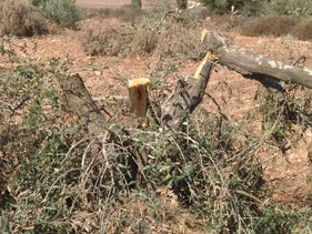 A cut down tree in al-Mughayir, October 27, 2020.
