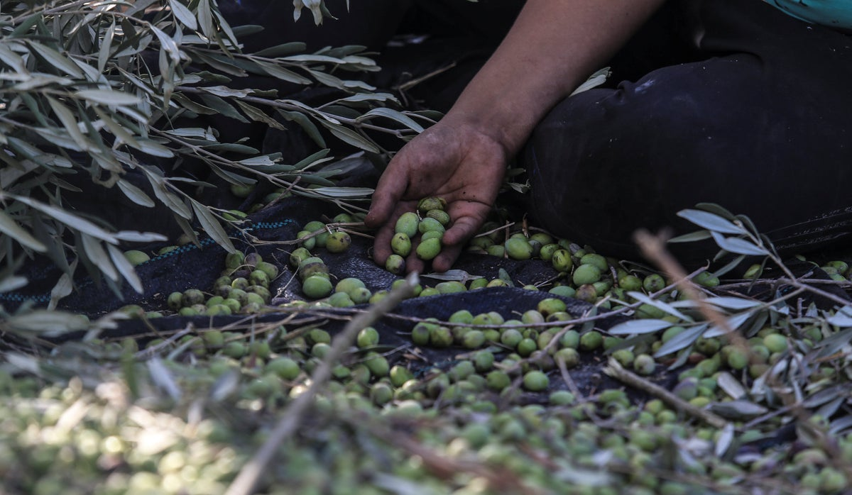 Extreme heat dashes Palestinian olive farmers hopes for...