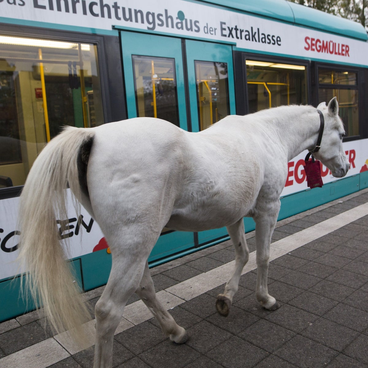 Jenny the Arabian mare is walking by a tram in Frankfurt's Fechenheim district, Germany, 2020.