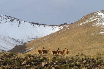 Vicunas in the Andes.
