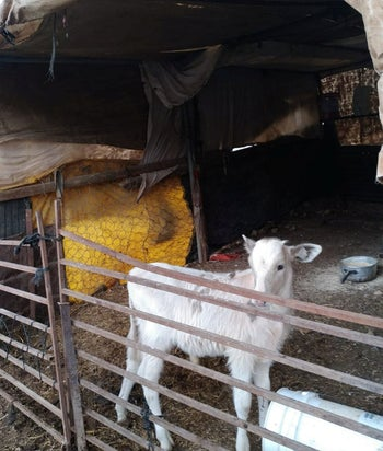 A calf whose mother was impounded Ain al-Hilweh, November 2020.
