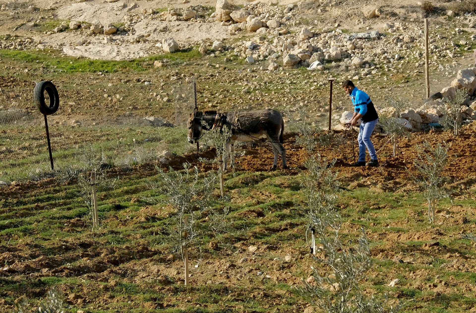 A man plows a field in the Yatta area, in the West Bank.