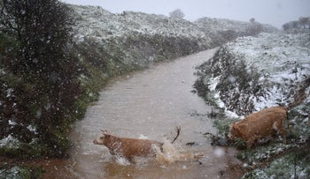 Cows cross a river in the north of Israel as snow falls, January 20, 2021.