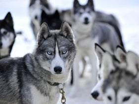Husky sled dogs awaiting a competition