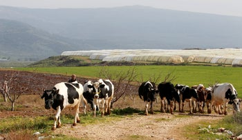 A shepherd herds cows in the village of Wazzani, near the Lebanese-Israeli border in southern Lebanon, January 25, 2021. Picture taken January 25, 2021.