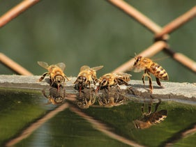 Bees drinking water.