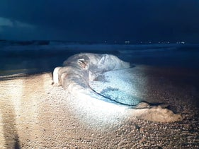 A body of a whale washed up on a beach south of Tel Aviv, today.