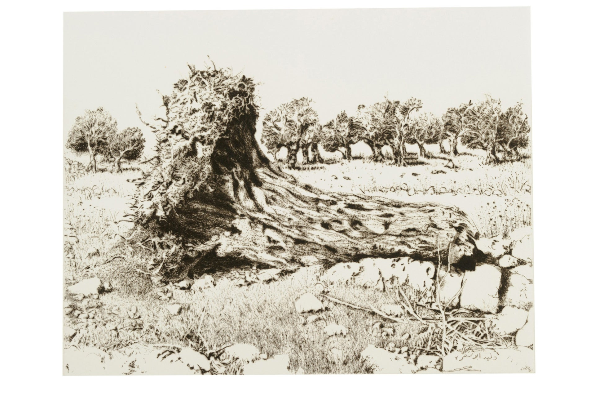 "Walid Abu Shakra, ""Roots of an Ancient Olive Tree,"" 1985."