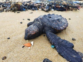 A sea turtle covered in tar on a beach in Israel, earlier today