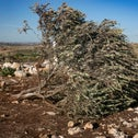 Olive trees uprooted by Israeli soldiers at the West Bank Palestinian village of Deir Balut.