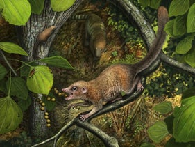 Shortly after the extinction of the dinosaurs, the earliest known archaic primates, such as the newly described species Purgatorius mckeeveri shown in the foreground, quickly set themselves apart from their competition -- like the archaic ungulate mammal on the forest floor -- by specializing in an omnivorous diet including fruit found up in the trees.