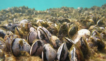 Brown mussels at Havatzelet Hasharon Beach near Netanya on Sunday.