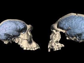 Skulls of early Homo from Dmanisi, left, and Homo erectus from Sangiran, Indonesia. Virtual filling of their braincases permits inferences on brain organization
