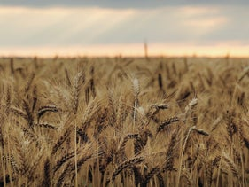 Mature wheat grows in a field. Ukko wants to redesign wheat to help celiac patients