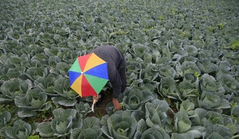 A farmer harvests broccoli in the town of al-Ansariyeh south of Sidon, Lebanon in 2016.