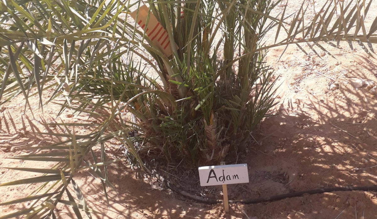 Methuselah the tree was grown from a 2,000-year-old seed found at Masada. Now more have been grown and genetic analysis finds a twist in the origin story of the 'Judean date'