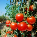 Tomatoes on the vine. Whatever the product, the people who are opposed to competition via imports are the same ones angry at Pfizer for the large profit it makes from its coronavirus vaccine.