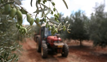 An olive grove in the West Bank.