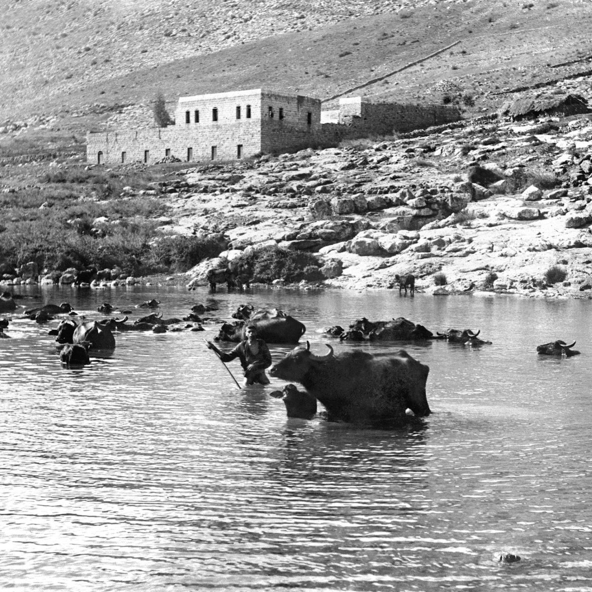 Water buffalo cooling off in Lake Hula, in the 1920s.