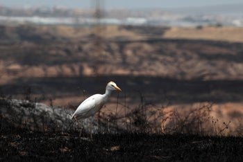 Scorched land and a Great heron in the Bitronot Be'eri Reserve in south Israel after a Gaza incendiary balloon attack, last month.